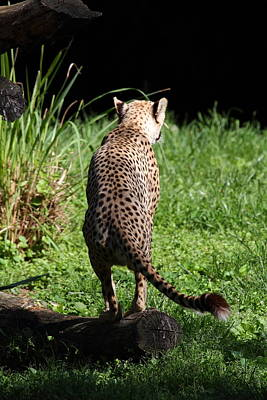 Leopards Photograph - National Zoo - Leopard - 01139 by DC Photographer
