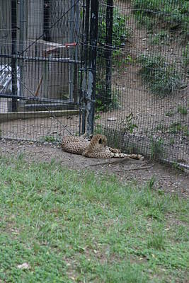 Leopards Photograph - National Zoo - Leopard - 12122 by DC Photographer