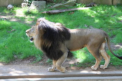 Lioness Photograph - National Zoo - Lion - 01131 by DC Photographer