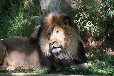 National Zoo - Lion - 011316 Print by DC Photographer
