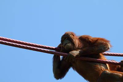 National Zoo - Orangutan - 011311 Print by DC Photographer