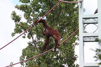 Orangutan Photograph - National Zoo - Orangutan - 01133 by DC Photographer