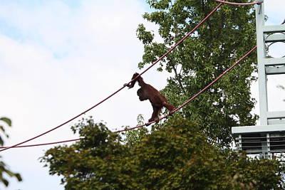 National Zoo - Orangutan - 01135 Print by DC Photographer