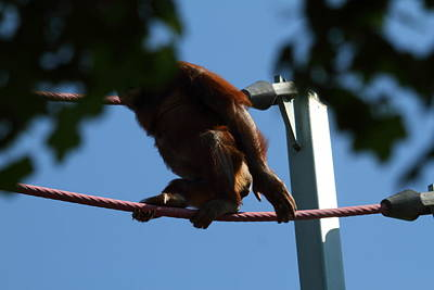 Orangutan Photograph - National Zoo - Orangutan - 01139 by DC Photographer
