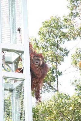 National Zoo - Orangutan - 121210 Print by DC Photographer