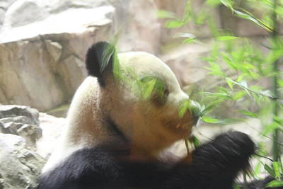 Panda Photograph - National Zoo - Panda - 01134 by DC Photographer