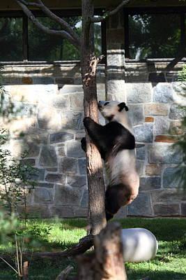 Panda Photograph - National Zoo - Panda - 011341 by DC Photographer