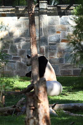 National Zoo - Panda - 011342 Print by DC Photographer