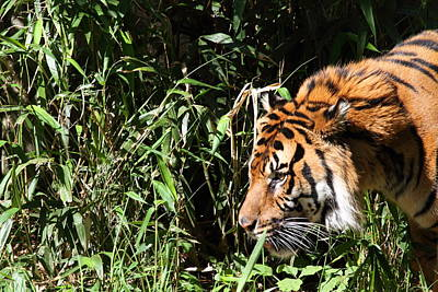 National Zoo - Tiger - 011311 Print by DC Photographer