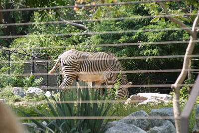 Zebra Photograph - National Zoo - Zebra - 12121 by DC Photographer