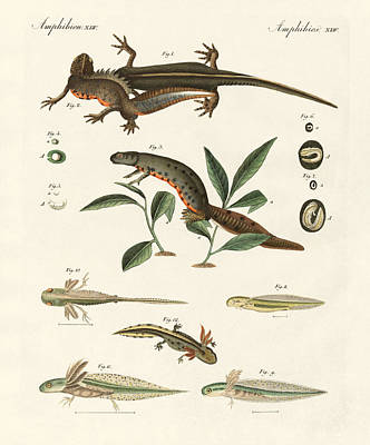 Salamanders Drawing - Natural History Of Sea Salamander by Splendid Art Prints