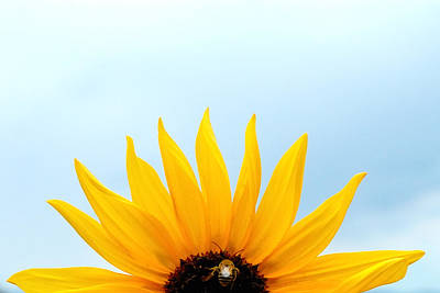 Natural Sunrise - Sunflower And Bee Print by Steven Milner