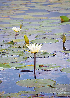 Natural Water Lily Flowers And Pads Found On The East Side Of Cozumel Mexico Accented Edges Digital  Print by Shawn O'Brien