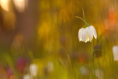 Natures Painting - Snakes Head Fritillaries Print by Roeselien Raimond