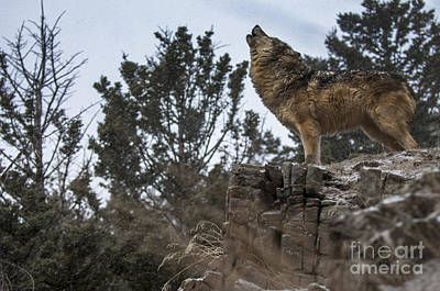 Wolf Photograph - Natures Song by Wildlife Fine Art