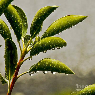 Natures Teardrops Original by Carol F Austin
