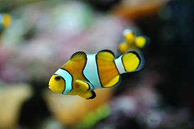 Fish Photograph - Nemo From Barcelona by Stephan Yankov