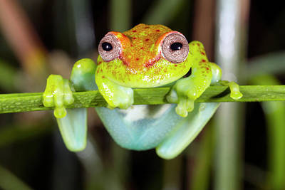 Neotropical Spotted Treefrog Print by Dr Morley Read