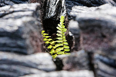 Nephrolepis Brownii Fern In Hardened Lava Print by Michael Szoenyi