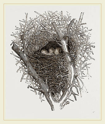 Magpies Drawing - Nest Of Magpie by Litz Collection