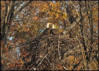 Raptors Photograph - Nesting Bald Eagles by Daniel Behm