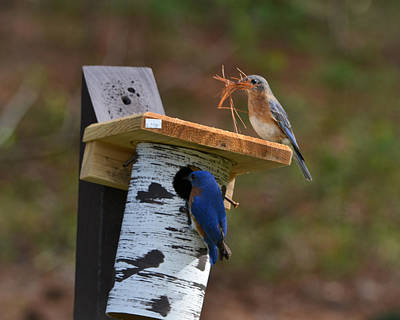 Nesting Bluebirds Print by Mary Zeman