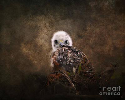 Red-shouldered Hawk Photograph - Nestling by Jai Johnson