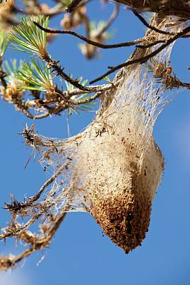 Pine Needles Photograph - Nests Of Pine Processionary Caterpillar by Ashley Cooper