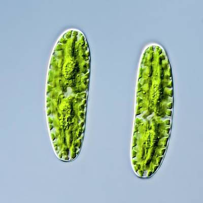 Algal Photograph - Netrium Oblongum Green Algae by Gerd Guenther