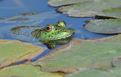 Bullfrog Photograph - Never Been Kissed by Fraida Gutovich