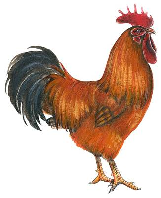 Rooster Drawing - New Hampshire Rooster  by Anonymous