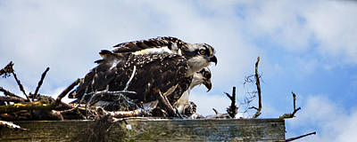 Osprey Photograph - New Kids On The Marsh by John  Nickerson