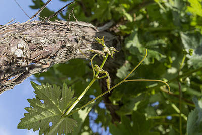 Grapevine Photograph - New Leaves On The Vine by Georgia Fowler