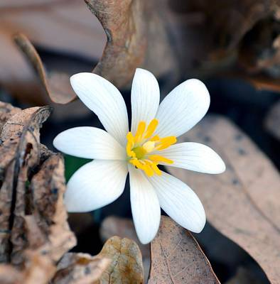Bloodroot Photograph - New Life by Deena Stoddard