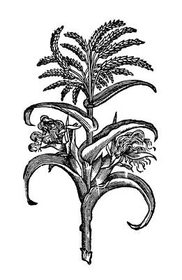 Mesoamerican Painting - New Spain Corn, 1651 by Granger