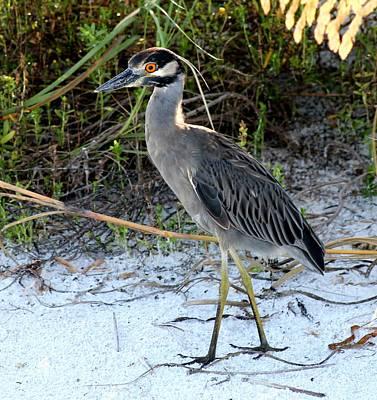 Beach Photograph - New Yellow Crowned Night Heron  by Patricia Twardzik