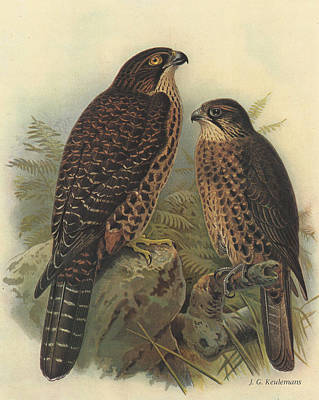Falcon Painting - New Zealand Falcon by J G Keulemans