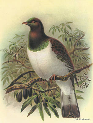 Pigeon Painting - New Zealand Pigeon by J G Keulemans