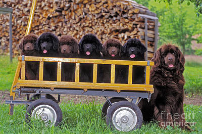 Newfoundland Puppy Photograph - Newfoundland With Puppies by Rolf Kopfle