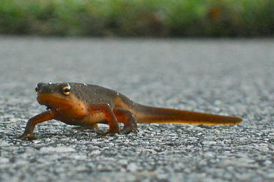 Newts Mixed Media - Newt by Carolyn Leicht