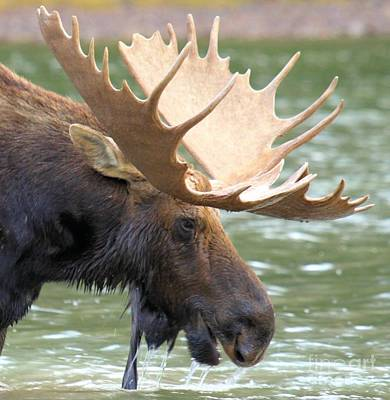 Moose In Water Photograph - Nice Rack Baby by Adam Jewell