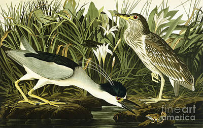 Reeds Drawing - Night Heron Or Lua Bird by John James Audubon