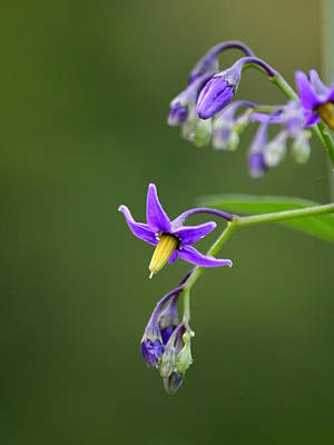 Flowers Photograph - Nightshade View    by Neal  Eslinger