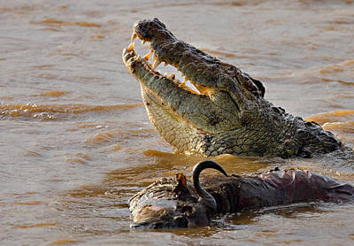Nile Crocodile With A Dead Wildebeest Print by Panoramic Images