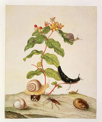 Insects Drawing - Hypericum Baxiforum by Maria Sibylla Graff Merian