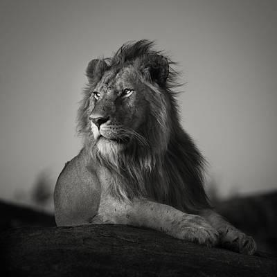 Nomad Lion Print by Pekka Jarventaus
