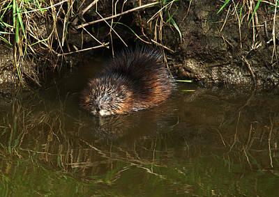 Beaver Photograph - North American Beaver by Sharon Talson
