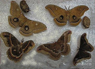 Butterfly Photograph - North American Large Moth Collection by Conni Schaftenaar