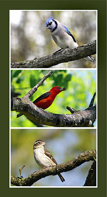 Bluejay Digital Art - North American Songbirds by Christina Rollo