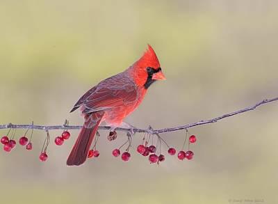 Cardinal Photograph - Northern Cardinal by Daniel Behm